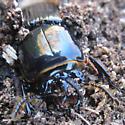 Beetle? under dead tree bark - Odontotaenius disjunctus