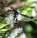 unknown wasp - Eumenes fraternus