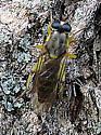 Xylomyid Fly  - Solva pallipes