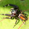 Some jumping spider - Phidippus clarus