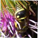 wasp - Parancistrocerus leionotus - male