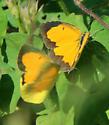 Sleepy Orange.......this time?  - Abaeis nicippe