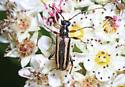 Longhorn Beetle - Pidonia ruficollis? - Pidonia ruficollis