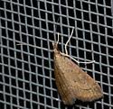 small snout moth - Celery Leaftier? - Udea rubigalis