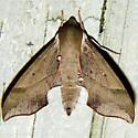 Virginia Creeper Sphinx Moth - Hodges #7885 - Darapsa myron