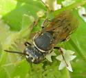 Wasp - Epeolus