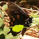 Pipevine Swallowtail - Hodges#4157 - Lateral - Battus philenor