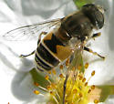 Syrphid Fly - Eristalis arbustorum - female