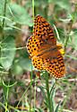 Unknown to me butterfly  - Speyeria hesperis