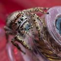 Phidippus putnami Jumping Spider - Phidippus putnami - female