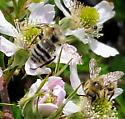 Bumblebee or bumblebee mimics - Bombus