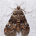 Elophila obliteralis  - Elophila obliteralis - male