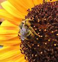 Bee on Helianthus annuus.   - Bombus insularis - male