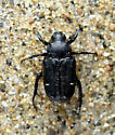 Cremastocheilus canaliculatus - Cremastocheilus