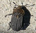 Carrion beetle? - Thanatophilus
