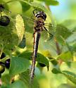 Unknown Emerald - Kanata, Ontario - Somatochlora williamsoni - female