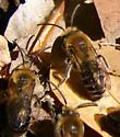 Mining Bees - Colletes