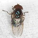 Syrphid Fly - Copestylum