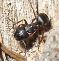 Formicidae 7-06-11 02b - Camponotus modoc