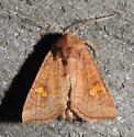 Amphipoea interoceanica - Interoceanic Ear Moth - Hodges#9456 - Amphipoea interoceanica - male