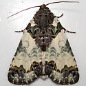 Tufted Bird Dropping Moth - Hodges#9062 - Cerma cerintha