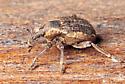 Beetle - Donus zoilus