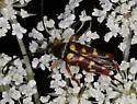 Cerambycid - red, yellow spots - Typocerus