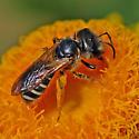 ID for a bee on Strawflowers? - Halictus poeyi - female