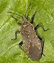 Squash bug in the garden - Anasa tristis