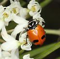 Glacial Lady Beetle - Hippodamia glacialis