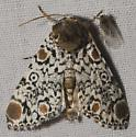 Bull's-eye moth sp. - Harrisimemna trisignata