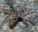 spider - Philodromus praelustris