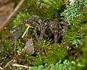 Spider in Burrow - Tigrosa georgicola