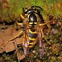 Yellowjacket chomping on hornworm - Vespula flavopilosa - female