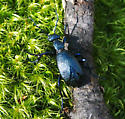 vibrant blue beetle - Meloe angusticollis - female