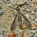Bee fly? - Aldrichia ehrmanii