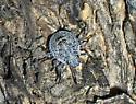 Stink bug? - Brochymena