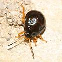 Stink Bug nymph? - Stiretrus anchorago