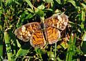pearl crescent butterfly - Phyciodes tharos - female