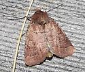 Moth - Dart - Orthodes cynica