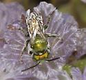 Phacelia pollinators...Osmia? - Osmia - female