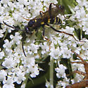 Is this Ceropales maculata (or close to it?) - Ceropales maculata
