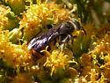 Scoliid Wasp on Lepidospartum squamatum - Campsomeris tolteca