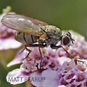 Fly - Coenosia tigrina