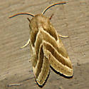 Three-lined Flower Moth - Hodges #11149 - Schinia trifascia
