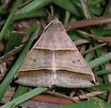 Black-tipped Ptichodis Moth - Ptichodis vinculum