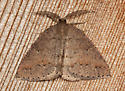 Drepanulatrix monicaria - male