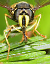 Chrysotoxum - male
