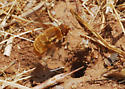 Orange County Bee Fly Archives - Found attacking Diadasia nests  - Paravilla fulvicoma - female