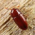 minute bark beetle - Philothermus glabriculus